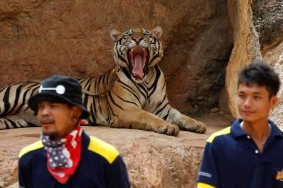 """Il """"Tempio delle Tigri"""" thailandese: morte, contrabbando e maltrattamenti 6"""