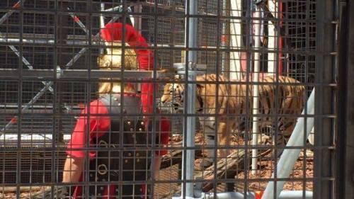 """A Berlino spunta un'arena con le tigri per """"mangiare"""" i rifugiati"""