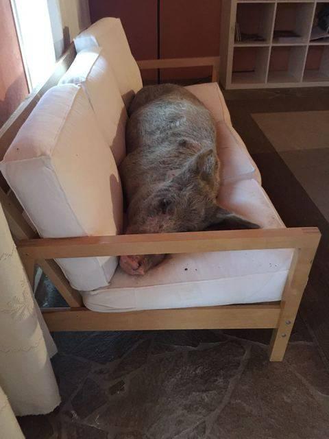 Trovano un maiale in casa disteso a dormire sul divano - Maiale sul divano ...