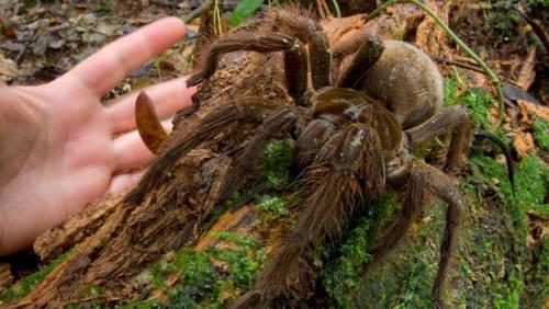 Enorme ragno brasiliano trovato nel bosco in Italia