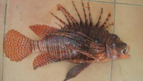 Paura in Italia: è arrivato il velenoso pesce scorpione. Puntura mortale
