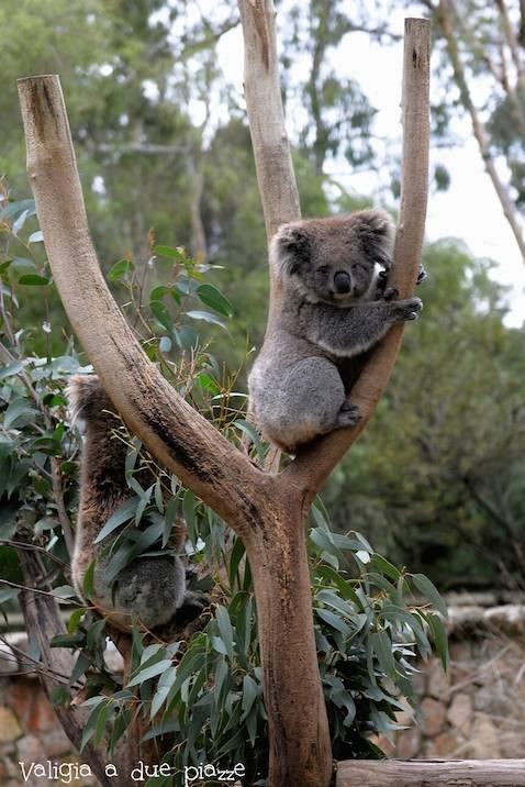 """""""I koala si estingueranno"""": l'allarme della fondazione australiana"""