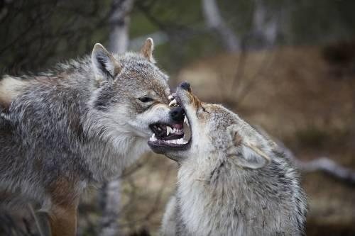 """Cremona, avvistata famiglia di lupi. Il sindaco: """"Niente paura"""""""
