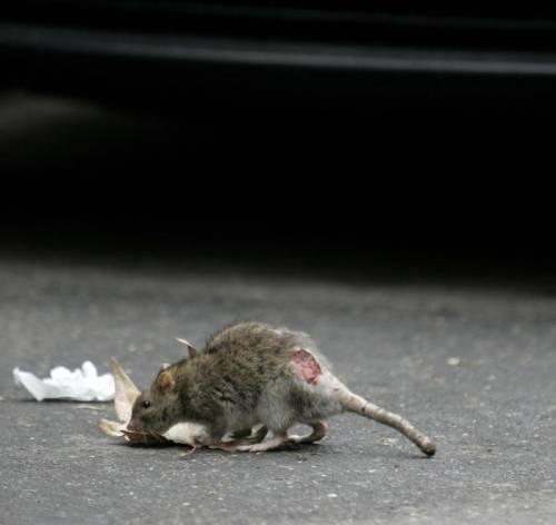 Roma, Via Veneto (la strada della Dolce Vita) invasa dai topi