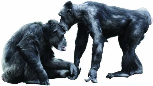 Ora lo dice la scienza: lo scimpanzé  è più evoluto dell'uomo