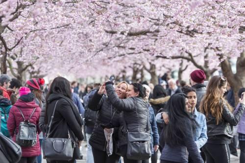 Ciliegi in fiore al Giardino reale di Stoccolma