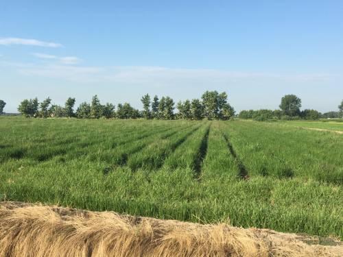 Nell'estate della grande siccità si coltiva il riso senz'acqua