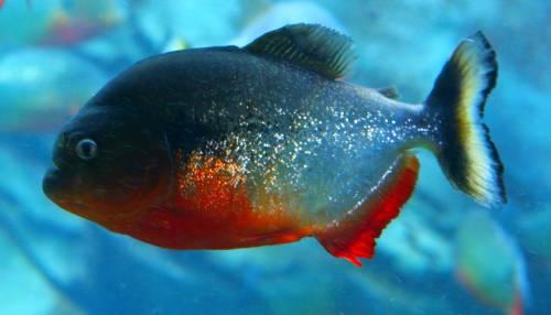 Cremona, pescato un esemplare di piranha nel Po