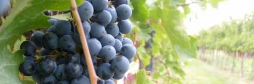 Bari, due vigili urbani sorpresi a rubare uva in un terreno