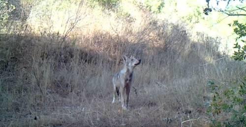A Roma tornano i cuccioli di lupo dopo oltre un secolo