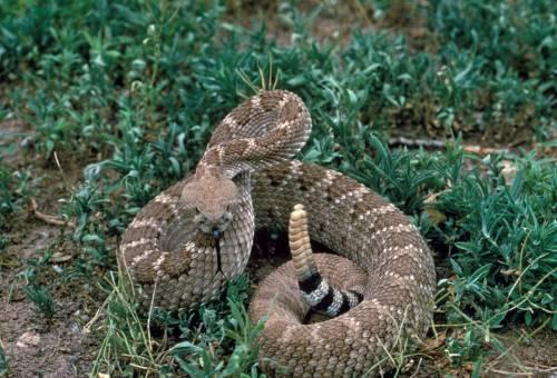 Texas, bimba morsa da un serpente: 40 dosi di antidoto per salvarla