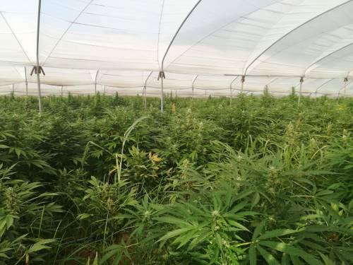 Vibo Valentia, scoperta maxi serra di circa 90mila piante di marijuana, sette gli arresti