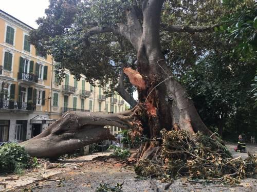 Crolla albero su Aurelia a Sanremo 5