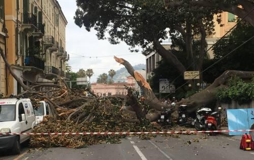 Crolla albero su Aurelia a Sanremo 7