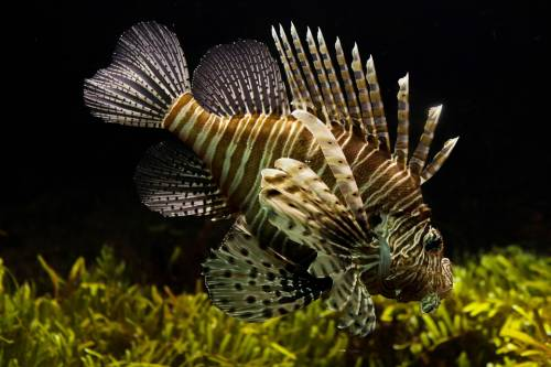 Pesci pericolosi per uomo scoperti nel Mediterraneo