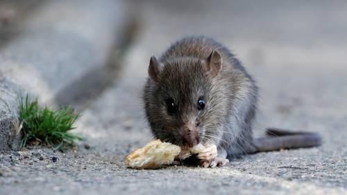 Sterilizzare i topi: ecco l'idea del Campidoglio per derattizzare Roma