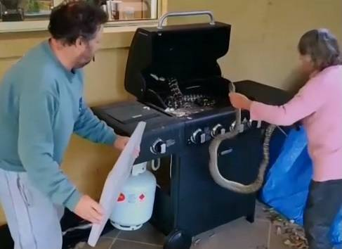 Ci sono due pitoni nel barbecue, ma senza paura la nonnina li afferra a mani nude