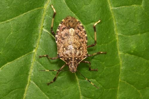 Invasione di cimici aliene: per ucciderle in Italia arriva la vespa samurai