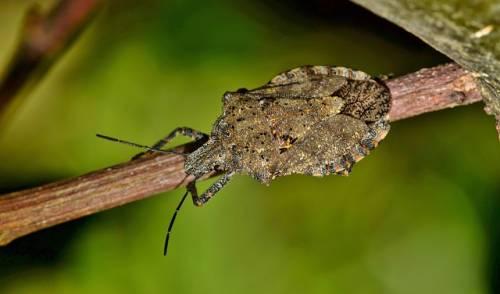 La vespa samurai usata contro la cimice asiatica