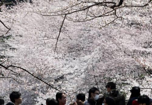 Giappone, lo strano fenomeno che fa fiorire adesso i ciliegi