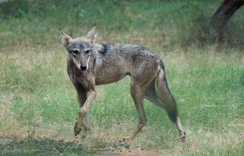 Veneto, il sì alla legge sugli abbattimenti dei lupi