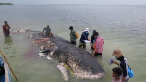 """Indonesia, la foto della balena """"mangiata"""" dalla plastica fa il giro del mondo"""