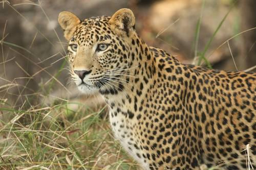 Si imbarca sull'aereo con un cucciolo di leopardo in valigia: arrestato
