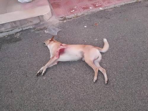 Orrore a Carovigno, cane ucciso in strada a colpi di pistola