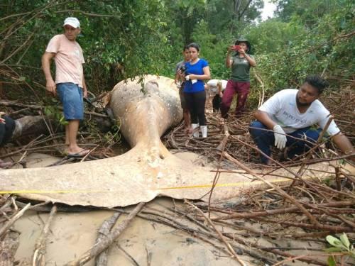 Il mistero della balena spiaggiata nel cuore della foresta Amazzonica