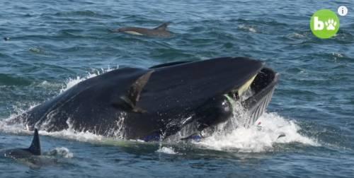 Rainer come Giona: ingoiato da una balena viene risputato fuori