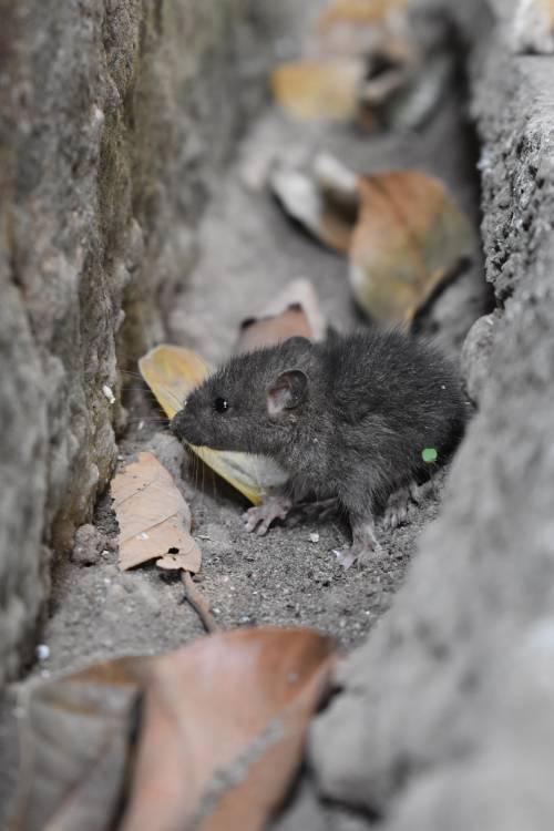 Trova topo morto nella lattina della sua bibita