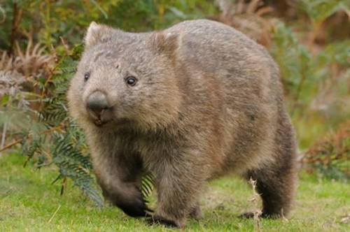 Australia, la scoperta delle feci a forma di cubo di alcuni marsupiali