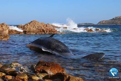 Sardegna, ucciso capodoglio: in grembo 20 chili di plastica