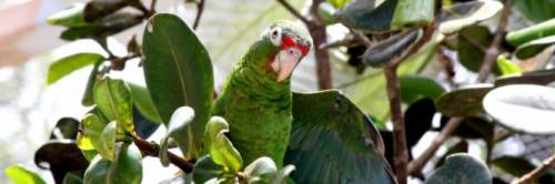 Invasione di pappagalli in Puglia