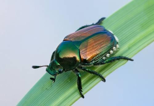 Lo scarabeo del Giappone  che semina il panico a Sud di Milano