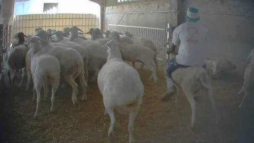 Violenze sugli animali nell'allevamento più grande d'Italia 9