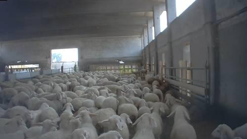 Violenze sugli animali nell'allevamento più grande d'Italia 11