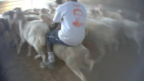 Violenze sugli animali nell'allevamento più grande d'Italia 3