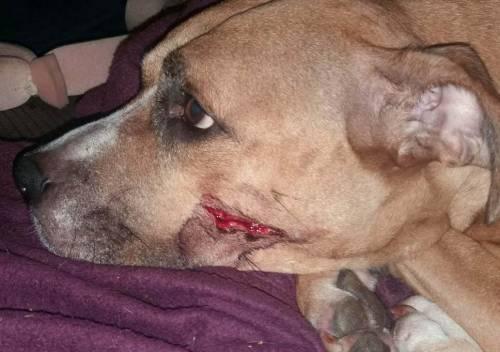 Gran Bretagna, ladri rapiscono sei cuccioli e feriscono la loro mamma