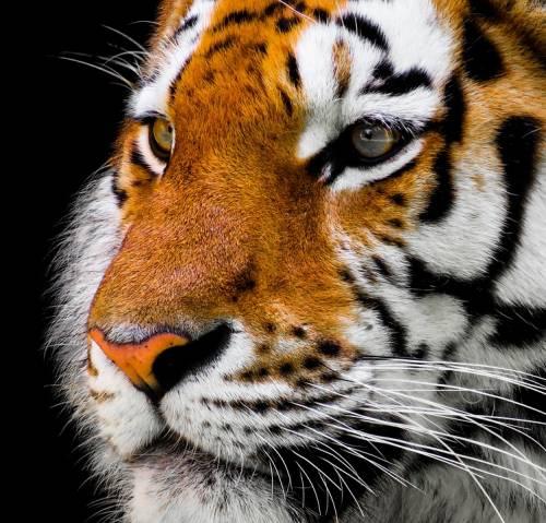 Giornata mondiale della tigre: 3.890 gli esemplari rimasti