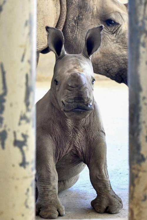 Taiwan, nato un cucciolo di rinoceronte bianco 2