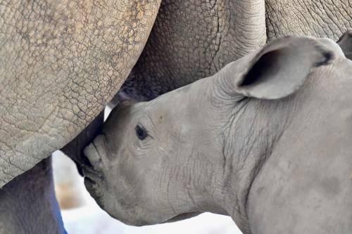 Taiwan, nato un cucciolo di rinoceronte bianco 4