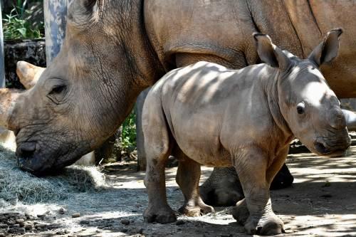 Taiwan, nato un cucciolo di rinoceronte bianco 5