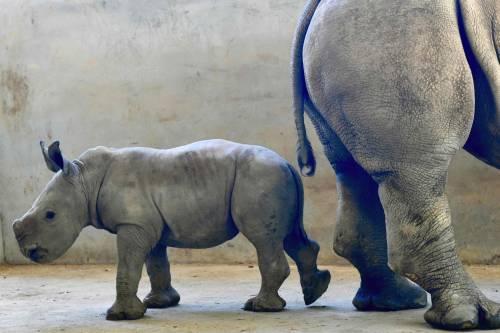Taiwan, nato un cucciolo di rinoceronte bianco 6