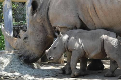 Taiwan, nato un cucciolo di rinoceronte bianco 7