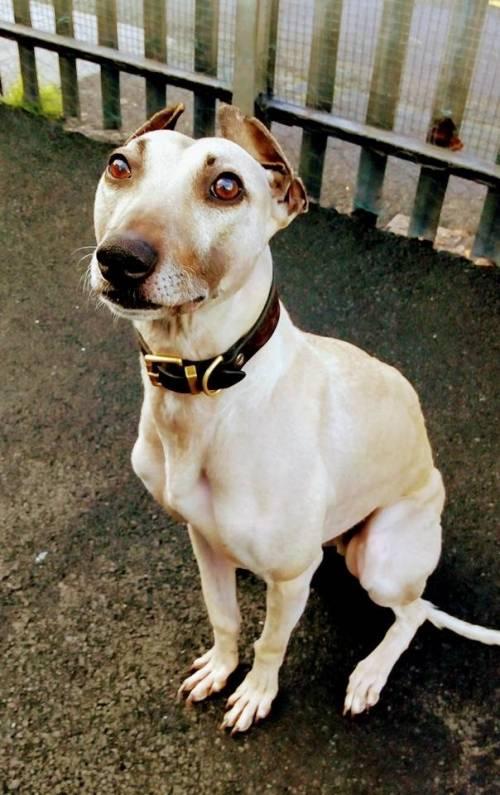 Sam, il cane più sfortunato della Gran Bretagna: da 900 giorni aspetta una famiglia