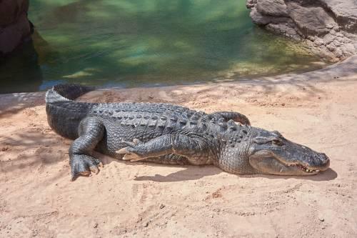 Allarme in Sardegna. Coccodrillo scompare da un circo