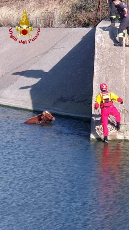 Carbonia, mucca finisce in un invaso, salvata dai vigili del fuoco 4