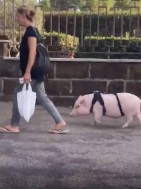 Roma, a passeggio per i Parioli con un maiale al guinzaglio