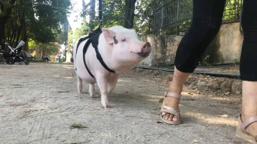 """Roma, impazza la moda del maiale al guinzaglio: """"Siamo tantissimi"""""""